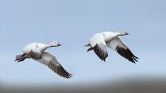 Snow Geese (Daniel Behm Photography) Tags: snowgeese geese snow arctic arcticlight tundra barrow alaska barrowalska danielbehm behm nature wildlife flight