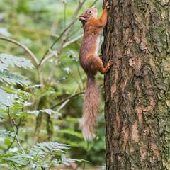 Red Squirrel (Margaret S.S) Tags: sciurus vulgaris red squirrel