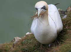 Collecting grass (jpotto) Tags: uk yorkshire bempton rspbbempton rspb gannet gannets seabird bird