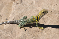 ready to run (Jeff Mitton) Tags: lizard collaredlizard utah coloradoplateau reptile wildlife earthnaturelife wondersofnature