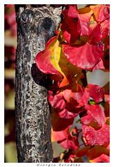 sommaco (Giorgio Serodine) Tags: sommaco canon ramo foglie autunno carso trieste tele digiorno allaperto corteccia
