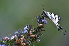 Podalirio al rosmarino (luporosso) Tags: natura nature naturaleza naturalmente nikon farfalla farfalle mariposa butterfly borboleta papillon podalirio