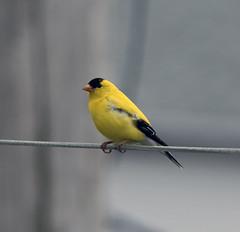 chardonneret (Claude Hudon) Tags: bird yellow finch nature outdoors animal oiseaux songbird chardonneret spinus stristis american goldfinch