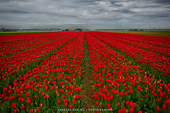 (Manuel Speksnijder) Tags: red tulipfields tulip fields tulips tulipfield thenetherlands flowers tulpenvelden holland noordholland sintmaartensvlotbrug rodetulpen tulpen tulp rood tulpenveld nederland bloemen