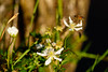 ...and the Bees (gendarme02) Tags: flower vine berry dewberry bee honeybee insect pasture nature outdoor green normangee tx texas pollen pollenation d7100 nikon nikond7100 wyattmartin outside sunny summer spring smalltown rural peaceful white
