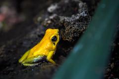 Poisonous?! (Rico the noob) Tags: dof bokeh nature d500 switzerland frog 70200mmf28 animal zurich macro schweiz published closeup 70200mm zoo eye 2017 indoor animals
