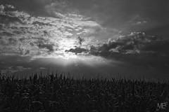 levé du soleil sur champs de maïs DxOFP LM8+28 1001572 (mich53 - thank you for your comments and 4M view) Tags: elmaritm28mmf28asph leicam8 rangefinder monochrome noirblanc blackwhite ciel sky nuages frankreich france clouds sunrise levédusoleil nuageux maïs 2015 vacances normandie cotentin