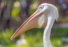 White Pelican bird (Babusyams) Tags: americanwhitepelican bird crane greatwhitepelican longnose