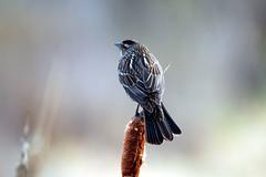 IMG_6611 (vipermikey) Tags: banff banffnationalpark bird alberta canada canadianrockies vermillionlakes hike rockies rockymountains parkscanada nature mountains