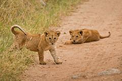 Lions of Maasai Kopjes 437 (Grete Howard) Tags: bestsafarioperator bestsafaricompany africa africansafari africanbush africananimals whichsafaricompany whichsafarioperator tanzania serengeti animals animalsofafrica animalphotos lions lioncubs maasaikopjes kopjes kopje