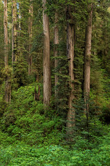 The Mighty Redwoods (Amy Hudechek Photography) Tags: redwood national park amyhudechek california