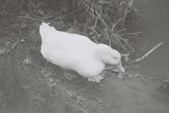 My White Duck Friend (goodfella2459) Tags: nikon f4 af nikkor 85mm f18d lens fomapan retropan 320 35mm blackandwhite film analog white duck friend bird animal water bowral southern highlands new south wales bwfp milf