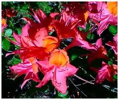 Azalea in HDR (kurtwolf303) Tags: hdr azalee azalea strauch shrub blossoms blüten natur nature artistic künstlerisch colorful farbig acdsee asus unlimitedphotos 250v10f 500v20f 750views 1000v40f 900views