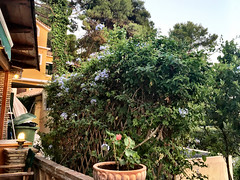 Plumbago (RobW_) Tags: plumbago climber freddiesbar tsilivi zakynthos greece thursday 15jun2017 june 2017