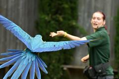 Blue-and-Gold Macaw (Bri_J) Tags: tropicalbutterflyhouse northanston sheffield southyorkshire uk yorkshire nikon d7200 sigma150600mm blueandgoldmacaw macaw parrot bird flight blue