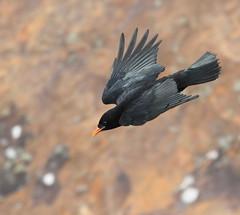 Juvenile Chough (alunwilliams155) Tags: chough pyrrhocoraxpyrrhocorax southstack bird flight brangoesgoch
