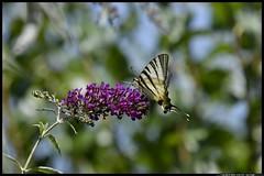 _DSK4234-07-07-2017 - podalirio (r.zap) Tags: iphiclidespodalirius podalirio rzap parcodelticino farfalla