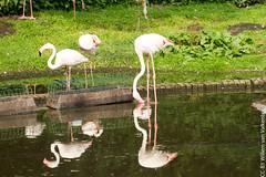 IMG_0587.jpg (wfvanvalkenburg) Tags: ouwehandsdierenpark flamingo familie