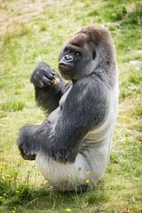 2017-06-05-10h48m53.BL7R7036 (A.J. Haverkamp) Tags: bokito canonef100400mmf4556lisiiusmlens rotterdam zuidholland netherlands zoo dierentuin blijdorp diergaardeblijdorp httpwwwdiergaardeblijdorpnl gorilla westelijkelaaglandgorilla dob14031996 pobberlingermany nl