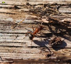 Rote Waldameise (Argentarius85) Tags: nikond5300 sigma105mmf28exdgoshsm rotewaldameise formicarufa insekt insect redwoodant ant ameise holz wood natur nature wald forest