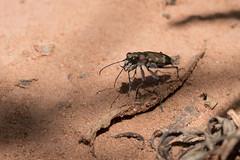 Dünen-Sandlaufkäfer (Nereus[GER]) Tags: dünensandlaufkäfer käfer insekt sand erde canon eos 80d 10mm f28 makro objektiv nereusger saarland