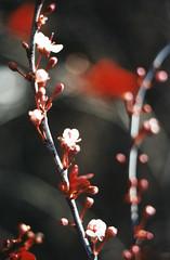Akai Hana (Jetcraftsofa) Tags: nikonf3 vivitar5528macro ektar100 35mm filmphotography akai hana macro red