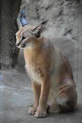 eriezoogrp2DSC_0131 (lwolfartist) Tags: caracal cat feline mammal animal nature photo