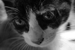 black 'n white tiny cats (Tiny Raissa) Tags: cat nikon babycat nikond3300 d3300 nikonitalia italia photos animals feline blackandwhite black white particular details