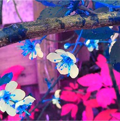 #cherryblossoms #sandcherry #flower #flowers #floweringtrees  #spring #psychedelic #psychedeliccolours #surreal #trippy #art #artistic #artsy #beautiful #simple (muchlove2016) Tags: cherryblossoms sandcherry flower flowers floweringtrees spring psychedelic psychedeliccolours surreal trippy art artistic artsy beautiful simple