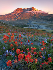Beauty and the Beast (Hilton Chen) Tags: wildflowers subjectcontrast summer mountsainthelens washington volcano indianpaintbrushes sunset toutle unitedstates us