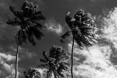 Vento antes da chuva (Bruno Nogueirão) Tags: árvores rua fotografiaderua fotografiadocumental coqueiro céu bw pretoebranco blackandwhite sky