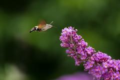 Taubenschwänzchen (Sebo23) Tags: macro makro makrofotografie tiere insekt insect moth motte nature natur canon6d tamron70300