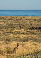 Euros (JLoyacano) Tags: jacobloyacano macropusrobustus macropusrobustuserubescens ocean caperange caperangenationalpark commonwallaroo euro euros kangaroo macropod macropus roo wallaroo wildlife