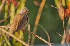 Common Ground Dove (ronmcmanus1) Tags: antigua bird nature outdoors wildlife jollyharbour stmarysparish antiguabarbuda