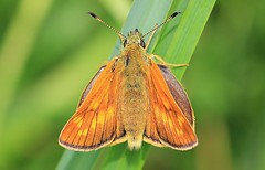 Large Skipper - Snows Farm WT Nature reserve _ Gloucs -270616 (ailognom2005) Tags: snowsfarmwtreserve naturereserves wildlifereserves wildlifetrust gloucestershire largeskipper butterflies butterfliesmothsandcaterpillars insects britishwildlife britishinsects macro