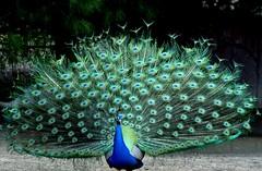 Proud Peacock (shutterbug_65) Tags: peacock proud beautiful colors izmir bird zoo