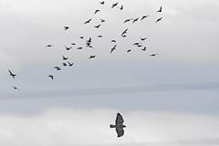 Attaque de buse_DSC7982_DxO (jackez2010) Tags: ilca77m2 70400gii busevariable attaque bif birdinflight