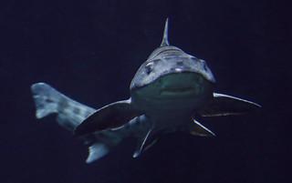 leopard shark Blijdorp JN6A4021