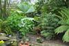 Wollemia Nobilis 13.06.2013 (NashiraExoticGarden) Tags: wollemianobilis exoticgarden exotentuin
