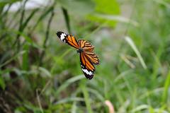Butterfly (roland_zink) Tags: animal hàtây vietnam vnm
