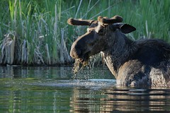 Moose in the pool... (Guy Lichter Photography - 3.4M views Thank you) Tags: canon 5d3 canada manitoba rmnp wildlife animal animals mammal mammals moose male explore