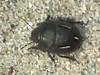Odontoscelis sp. (ruiamandrade) Tags: odontoscelis scutelleridae hemiptera heteroptera bug percevejo insectos insects nature natureza