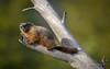 Marmot (scepdoll) Tags: pilgrimcreekroad grandtetonnationalpark wyoming marmots wildlife findyourpark