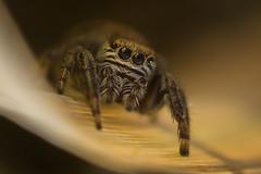 Araignée sauteuse (guillaume.randon) Tags: saltique nikond7200 macro sigma105mm kenko14 araignée sauteuse spider jumper