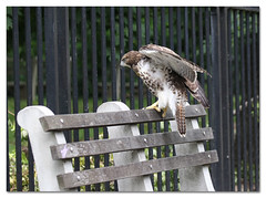 Is This Seat Taken? (Redtail10025) Tags: hawks red tailed redtailed raptors wildlife nyc urban juvenile grants tomb monument riverside drive morningside heights