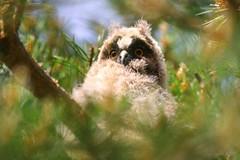 Asio otus  (Juvenile) (Zatanen) Tags: asiootus sarvipöllö hiboumoyenduc bufopequeno hornugle longearedowl hornuggla skovhornugle waldohreule petolinnut rovfåglar birdsofprey rovfugler rapaz raptor rapace uggla pöllö owl ugle babyowl fukuro eule uil hibou
