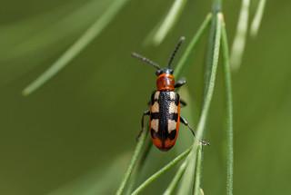 Asparagus Beetle  (Crioceris asparagi)