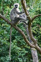 Long Tale (PB2_1679) (Param-Roving-Photog) Tags: grey langur hanuman monkey indian wildlife animal jungle longtail tree nature indianwildlife eyecontact dudhwanationalpark up india wildlifephotography nikon tamron