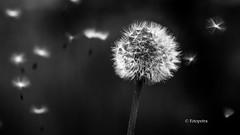 Pusteblume.......... (petra.foto busy busy busy) Tags: pusteblume butterblume löwenzahn fotopetra weis monocrom black white blackwhite pollen samen schwarz canon dandelion natur nature