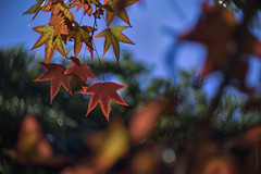 Winter approaching (gnarlydog) Tags: adaptedlens kodakcine50mmf16 leaves australia colorful bokeh shallowdepthoffield speckledhighlights specularhighlights subjectisolation backlit contrejour semitransparent nature red orange maple